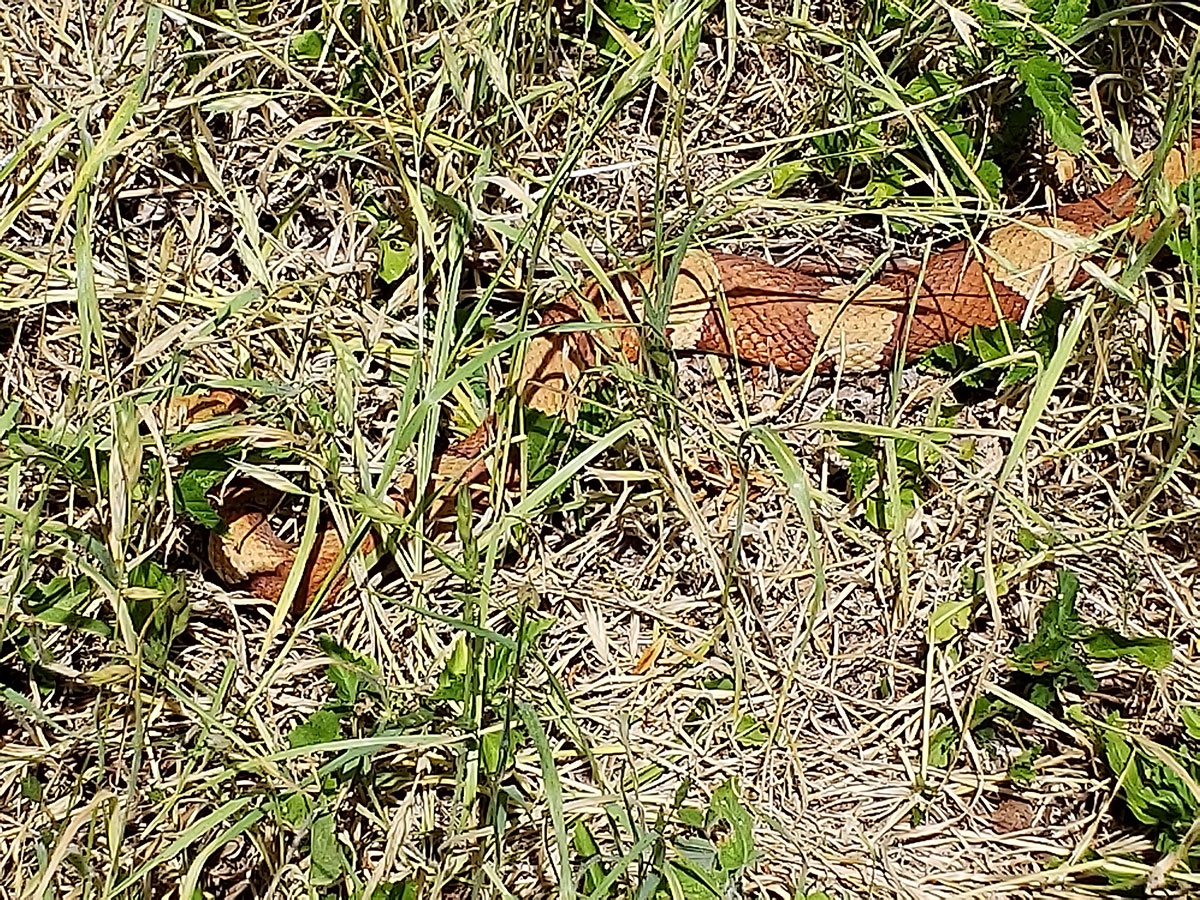 Photo of a Copperhead (Agkistrodon contortrix) in the yard grass.