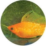 gold_freckle_sailfin_male