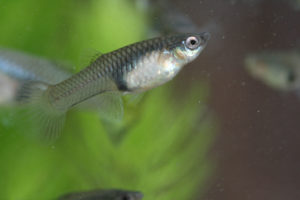 Photo of a female Poecilia reticulata, common name guppy.