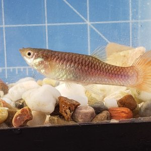 Photo of a possible female guppy x Poecilia mexicana, Campeche hybrid.