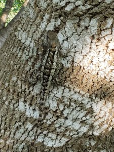 Photo of a female Sceloporus olivaceous (Texas spiny lizard) on an Arizona ash tree showing its camouflaging color pattern.