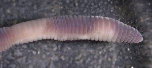 Photo of the head end of a Bimastos heimburgeri worm.