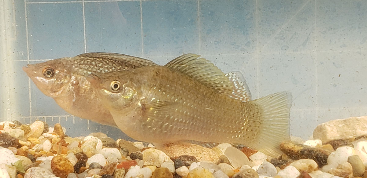 Photo of a young male Giant Green Sailfin Molly.