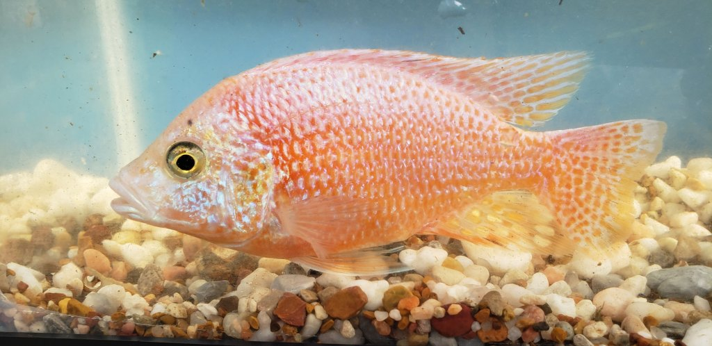 Photo of a Male Red Dragon Blood Peacock Cichlid.