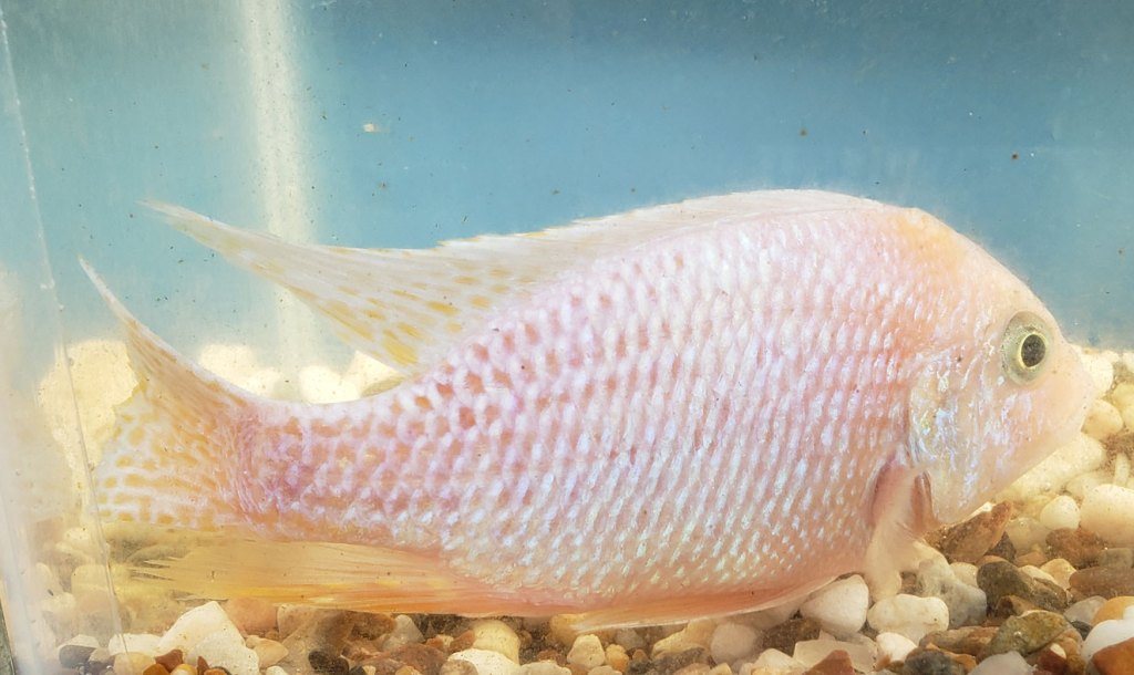 Photo of a Male Skyblue Dragon Blood Peacock Cichlid.