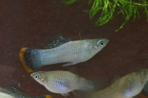 Photo of a pair of Poecilia mexicana 'Campeche'.