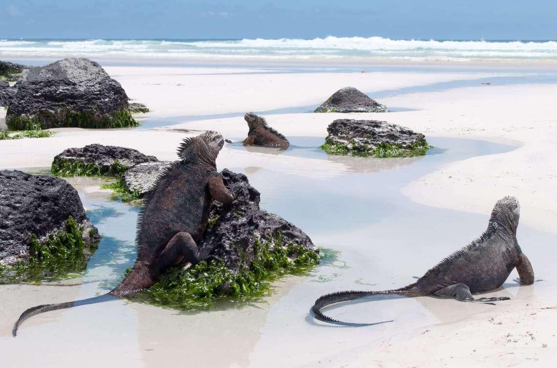 marina-iguana