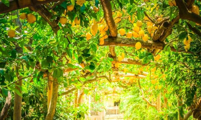 sorrento-lemons