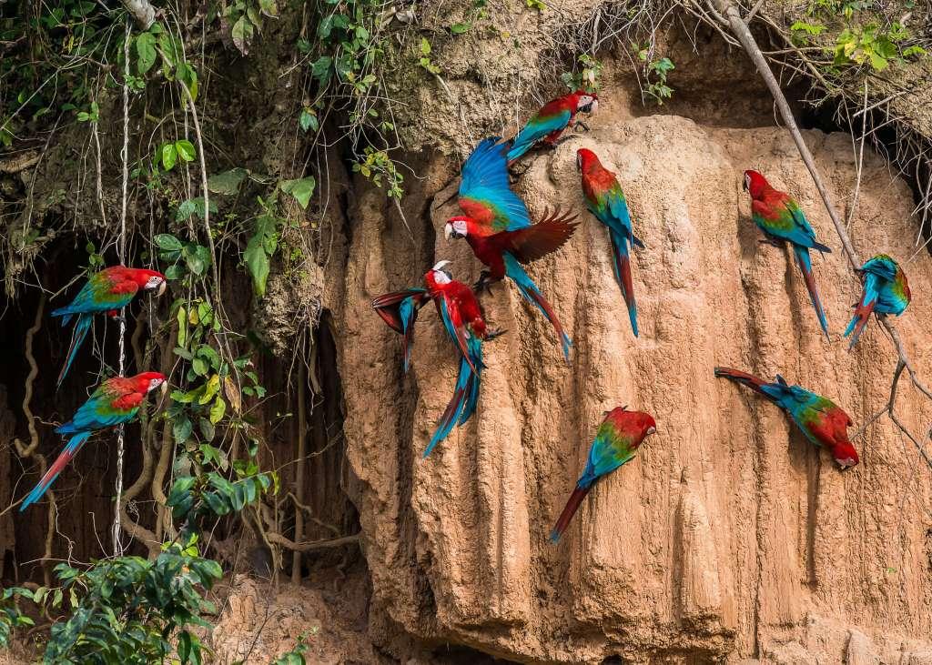 macaws-amazon