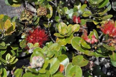 More interesting native Hawaiian plants