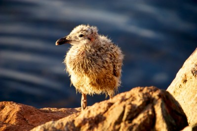 Gull chick out for a stroll