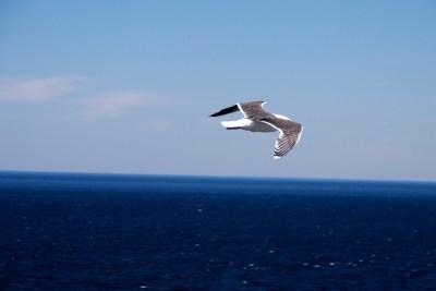 Black backed Gull soaring around