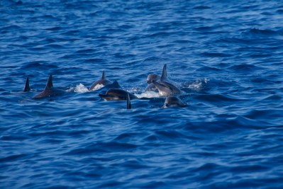 A pod of spinner dolphins