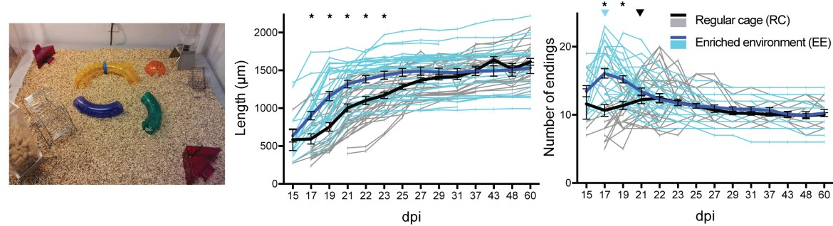 Exposure to an enriched environment leads to faster dendritic growth and earlier pruning.
