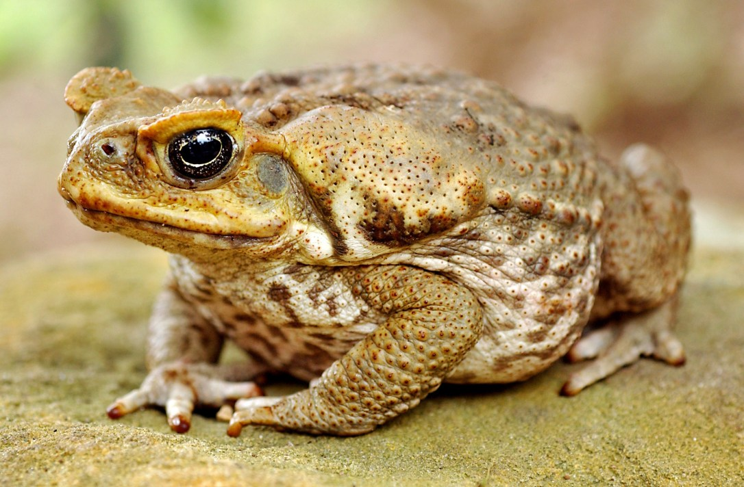 TO ACCOMPANY FEATURE STORY AUSTRALIA-TOADS.