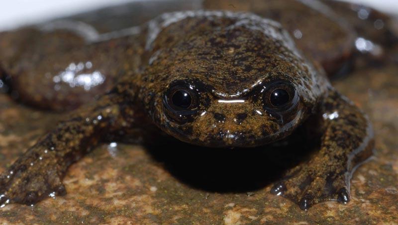 Kalimantan Jungle Toad
