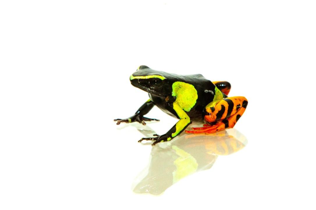 malagasy-frog-2-e1435238169937.jpg