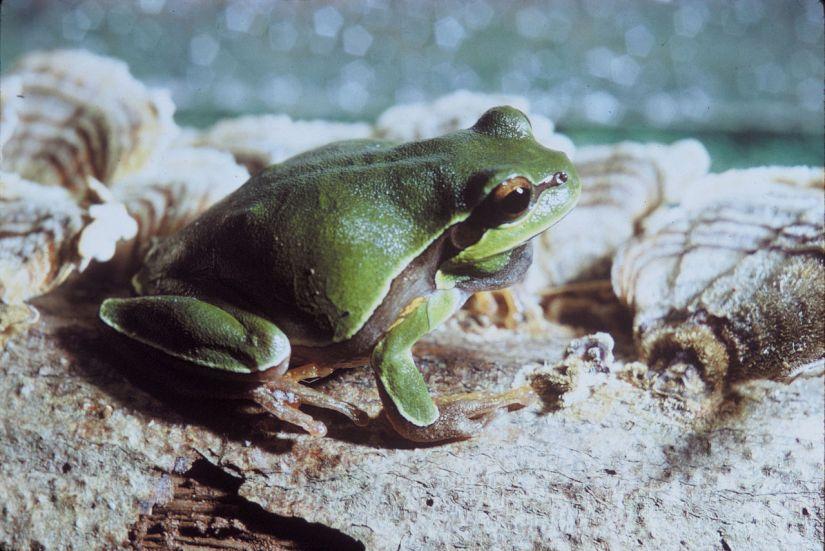 1280px-pine_barrens_tree_frog