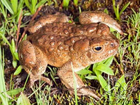Male Yosemite Toad