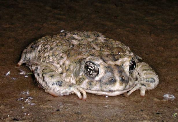 Arroyo_toad