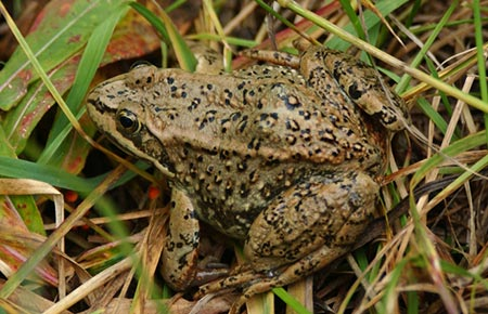 columbiaspottedfrog_grass_phil_myers_umich