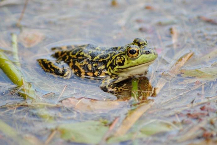 mink_frog