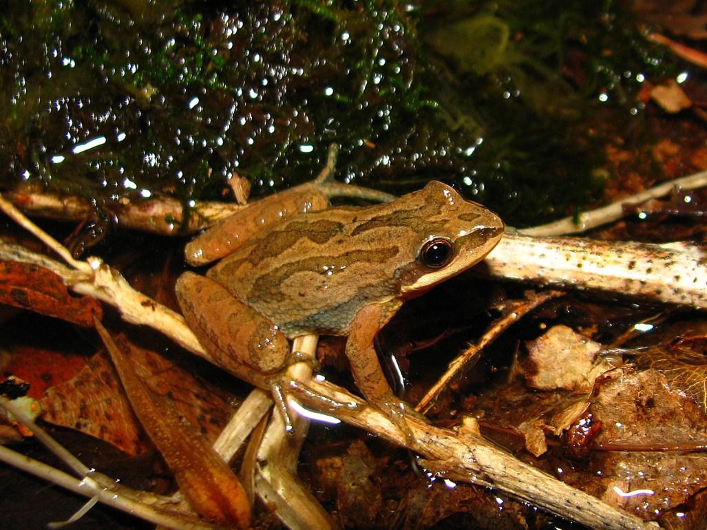 njchorusfrog