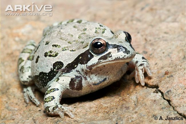streckers-chorus-frog
