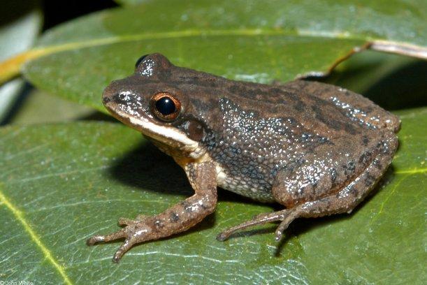 uplandchorusfrog