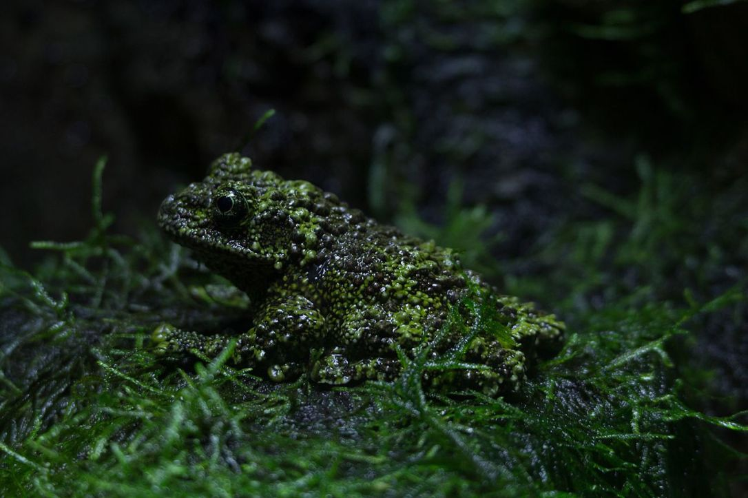 ZSL_London_-_Vietnamese_mossy_frog_(01)