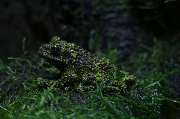 Vietnamese mossy frog by Katie Chan