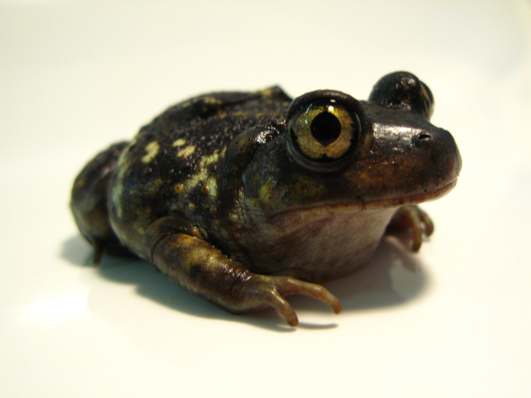american_eastern_spadefoot_toad