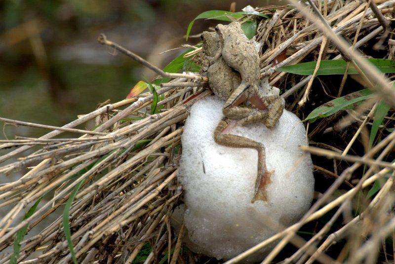 foamnestingfrog