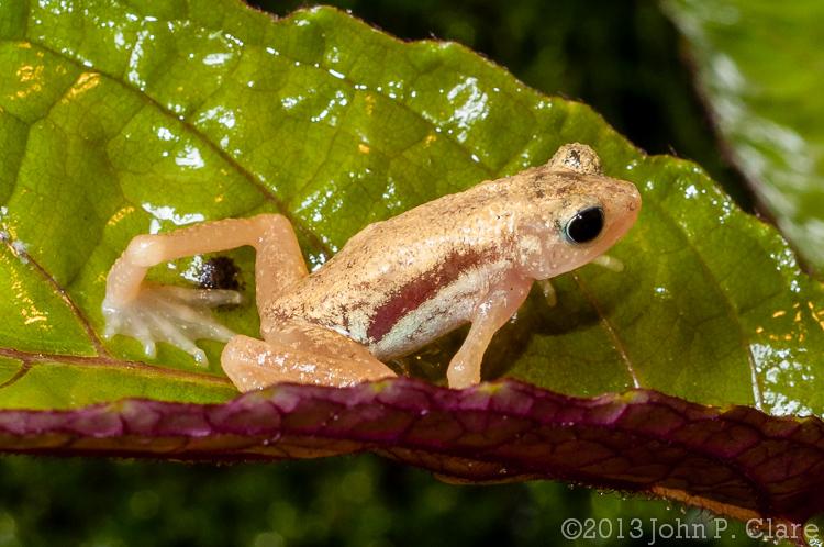 Nectophrynoides asperginis (Kihansi Spray Toad)