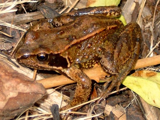 commonfrog