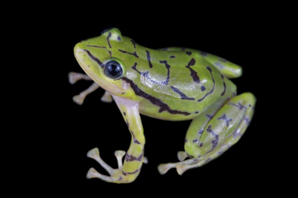 rainfrog