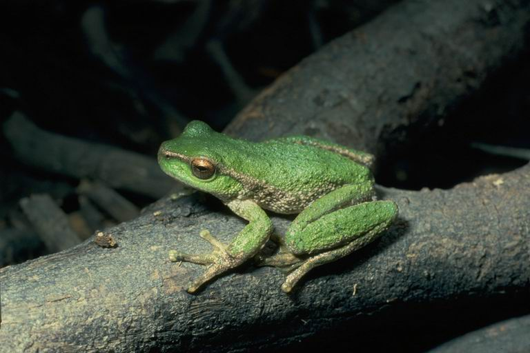 spottedtreefrog