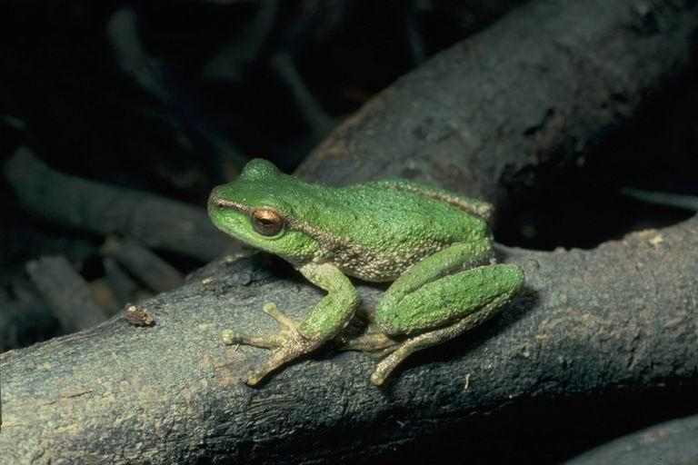 spottedtreefrog