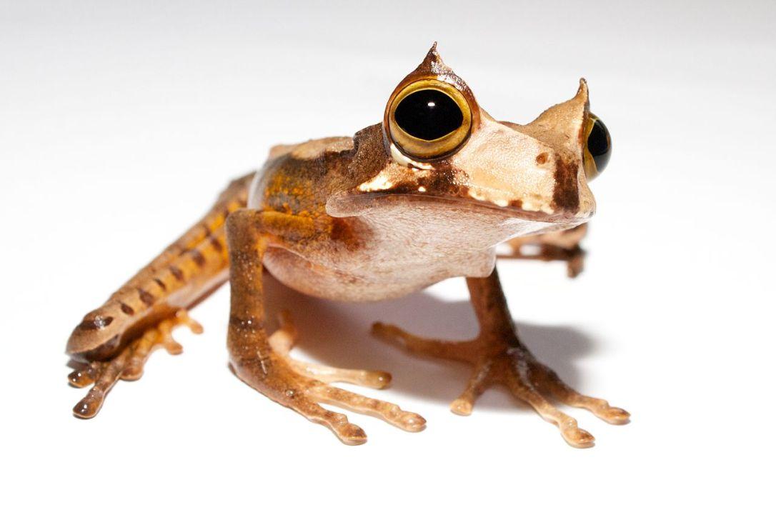 horned marsupial frog