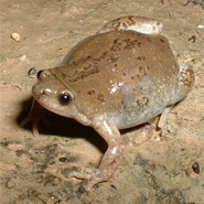 Great Plains Narrow mouth Toad from National Park Service