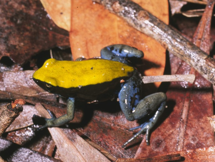 Mantella_expectata01