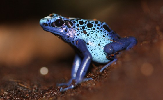 Dyeing Poison Dart Frog by Edmonton Zoo