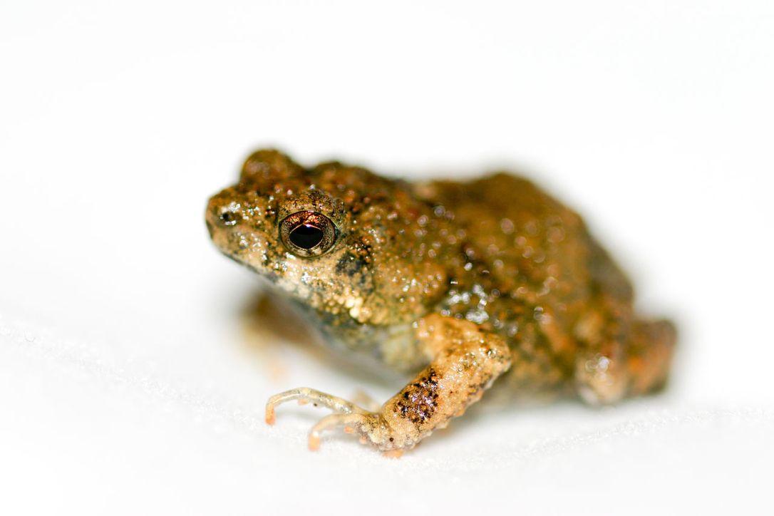 1280px-Tungara_frog_(Physalaemus_pustulosus).jpg