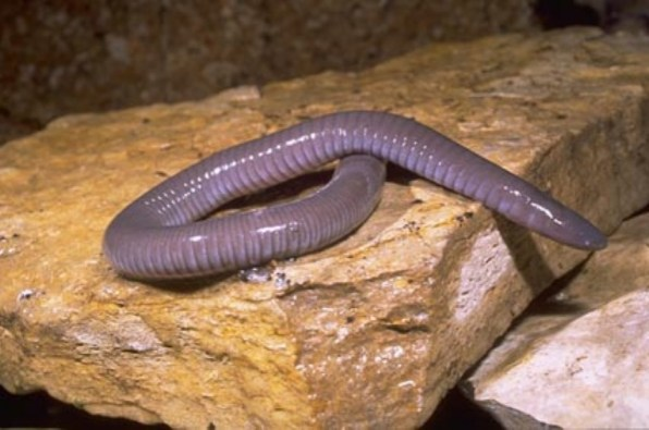 Mexican Caecilian by Franco Andreone