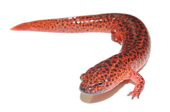 Red Salamander photo by by Leif Van Laar