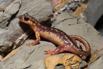 Karpathos Lycian salamander by Benny Trapp