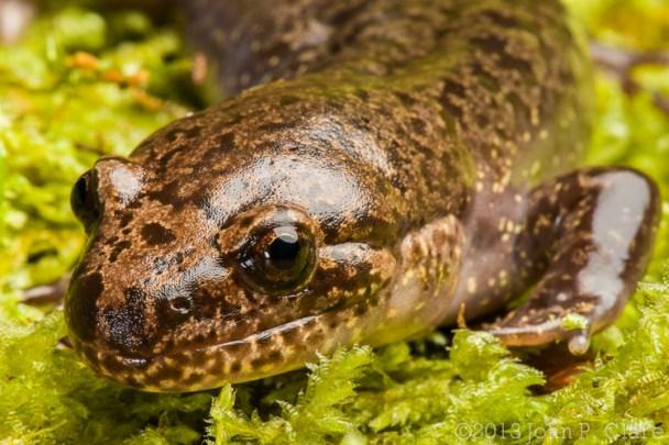 Dicamptodon tenebrsosus - Pacific Giant Salamander