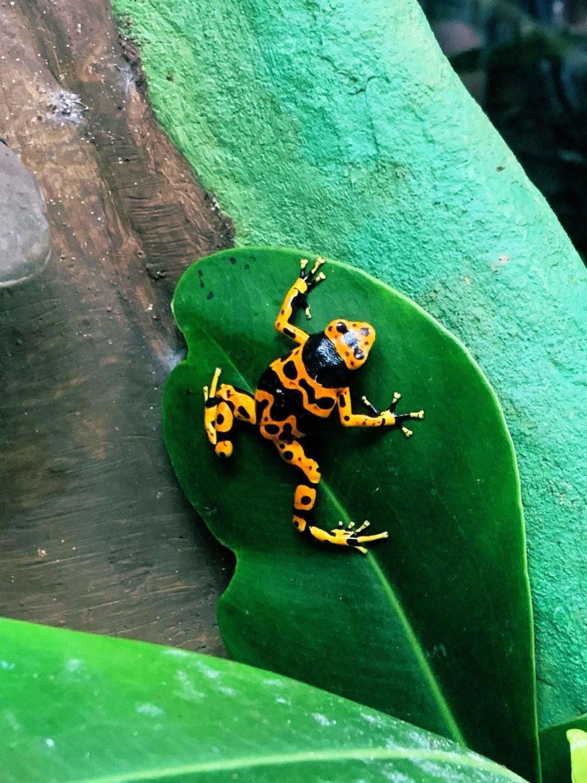 Bumblebee Poison Dart Frog