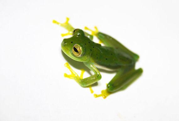 emeraldglassfrog