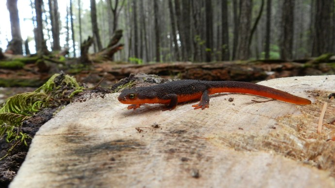 Rough-Skinned_Newt